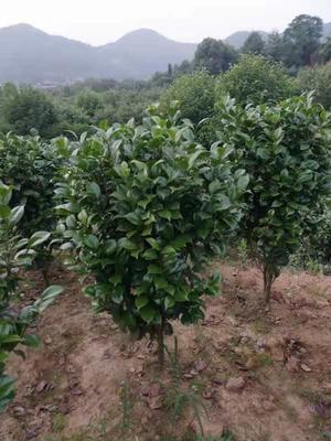 浙江省杭州市萧山区茶花树 140cm以上