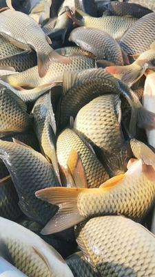 重庆璧山区池塘鲤鱼 人工养殖 0.5-2.5公斤