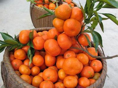这是一张关于香橘苗 嫁接苗 1~1.5米 的产品图片