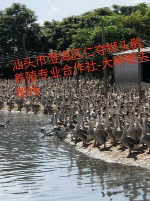广东省汕头市澄海区狮头鹅苗