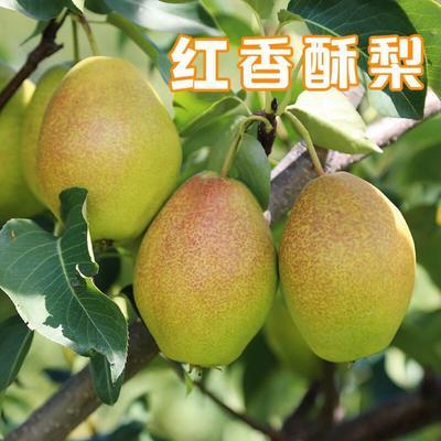 河北省石家庄市赵县红香酥梨 55mm 150-200g