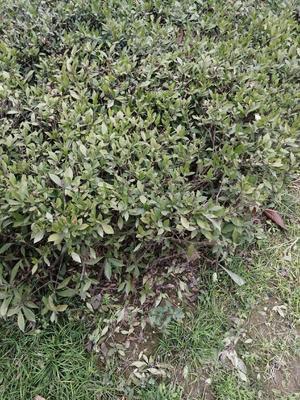 陕西省汉中市汉台区小叶丁香 2cm以下 4cm以下 0.5米以下