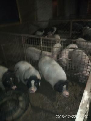 河北省沧州市孟村回族自治县巴马香猪 20-40斤