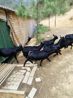 湖南省郴州市宜章县黑山羊 30-50斤