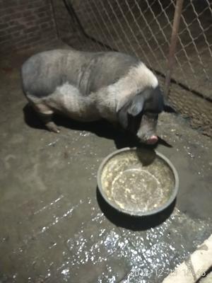 河北省沧州市孟村回族自治县巴马香猪 100斤以上