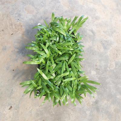 广东省广州市荔湾区散尾葵  棕榈科观叶植物