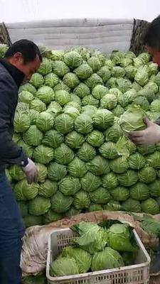 山东省济宁市金乡县绿甘蓝  2.0~2.5斤 包菜、甘蓝发全国市场