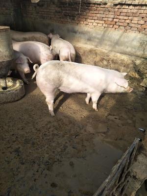 辽宁省锦州市北镇市土杂猪 300斤以上