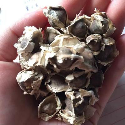 这是一张关于辣木籽  食用天然纯辣木籽种子的产品图片