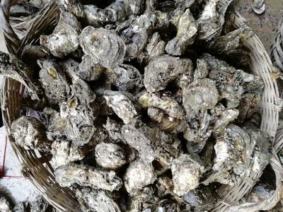 广西壮族自治区北海市海城区北海牡蛎 人工殖养 3-4两/只