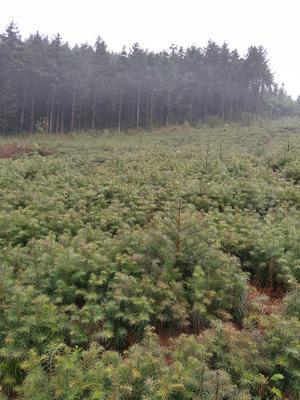 广西壮族自治区桂林市全州县杉木树苗
