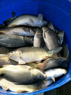 重庆璧山区镜鲤 人工养殖 0.5-2.5公斤