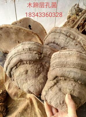 这是一张关于野生灵芝 的产品图片