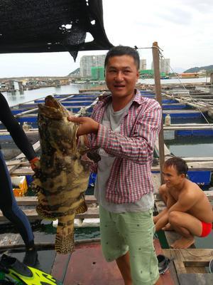 海南省海南省万宁市珍珠龙胆石斑鱼 人工殖养 6公斤以上