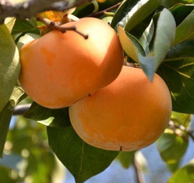这是一张关于阳丰甜柿苗 的产品图片