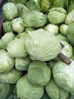 陕西省汉中市勉县冬绿甘蓝 3.0~3.5斤