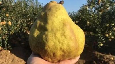 这是一张关于丑梨苗 1~1.5米 的产品图片
