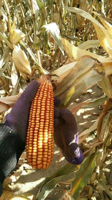 内蒙古自治区呼和浩特市和林格尔县联创808玉米粒 净货 水份14%-16%