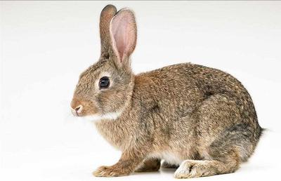 湖北省荆门市沙洋县比利时野兔 3-5斤