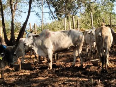云南省德宏傣族景颇族自治州瑞丽市婆罗门牛 800-1000斤 公牛