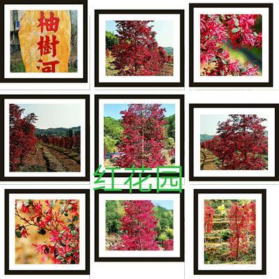 广东省梅州市平远县透骨红