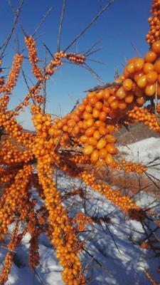 黑龙江省牡丹江市西安区沙棘果 橙黄色