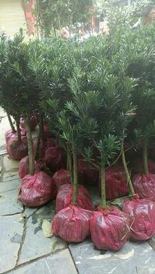 广西壮族自治区桂林市荔浦县罗汉松  有大量罗汉松杯苗出售