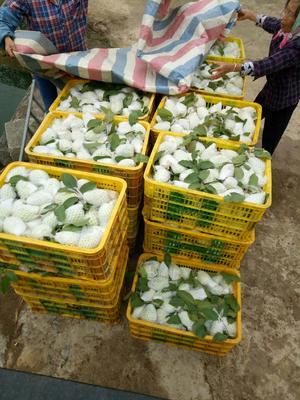 广西壮族自治区南宁市隆安县珍珠番石榴 250-300克