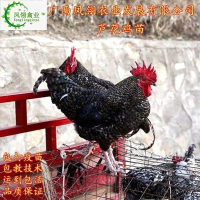 广西壮族自治区南宁市兴宁区芦花鸡苗