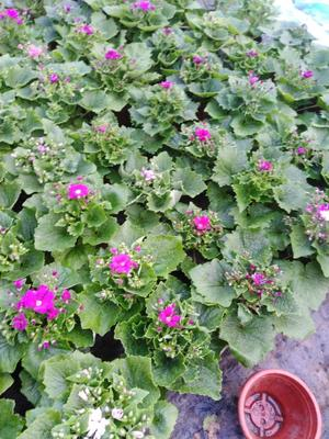 这是一张关于瓜叶菊盆栽 的产品图片