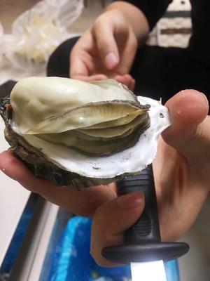 山东省威海市乳山市威海牡蛎 野生 3-4两/只