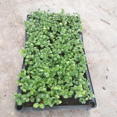 广东省广州市荔湾区海桐球  海桐种苗