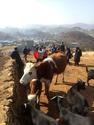 贵州省毕节市威宁彝族回族苗族自治县西门塔尔牛 800-1000斤 母牛