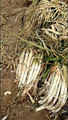 山西省运城市绛县长白大葱 混装通货 净葱