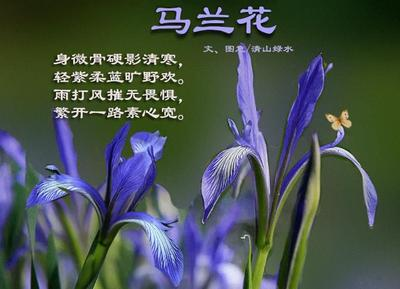 这是一张关于马兰花种子 的产品图片