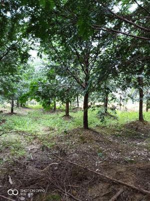 四川省成都市蒲江县南方红豆杉 3.5米~5米