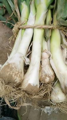 河北省保定市安国市鸡腿大葱 30~50cm 净葱