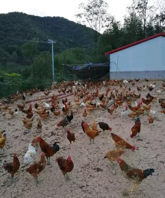 广西壮族自治区来宾市兴宾区土鸡 2-3斤 统货