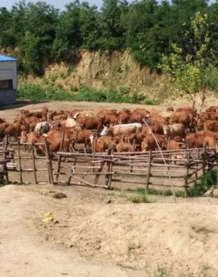 这是一张关于黄牛 600-800斤 统货 的产品图片