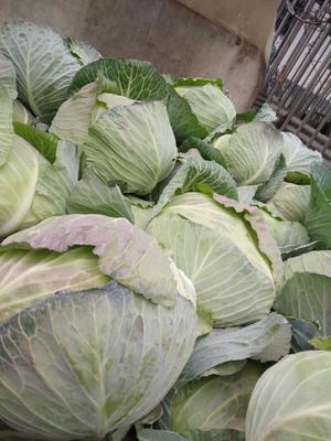 河南省南阳市新野县圆包菜 2.5~3.0斤