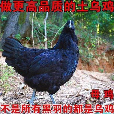 江西省南昌市南昌县土乌鸡  2-3斤 净重1.8斤一2.5