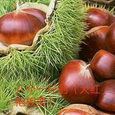 这是一张关于大红袍板栗苗 嫁接苗 1~1.5米 的产品图片