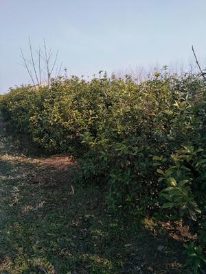 安徽省宿州市埇桥区桂花树