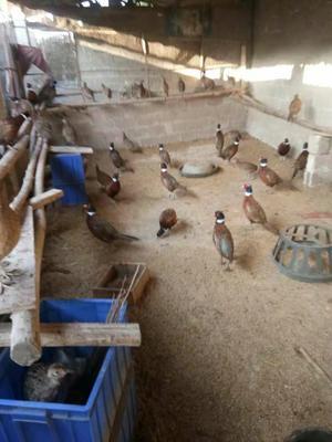 广西壮族自治区来宾市兴宾区七彩山鸡2-3斤