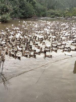 这是一张关于麻鸭 5-6斤 统货 半圈养半散养 的产品图片