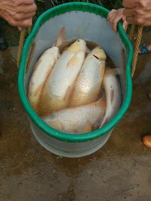 重庆渝北区金草鱼 人工养殖 1-2.5公斤