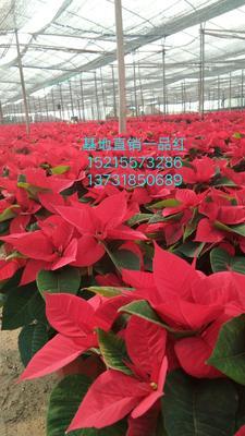 广东省广州市荔湾区一品红 造型树