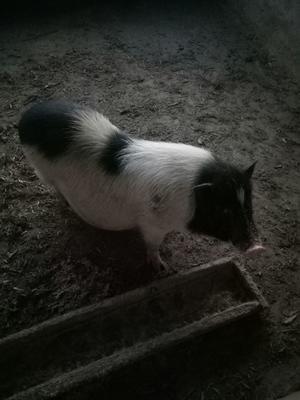 河南省开封市兰考县巴马香猪 40-60斤
