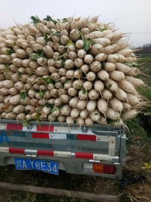 四川省成都市彭州市秤杆红萝卜
