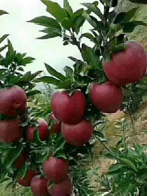 甘肃省陇南市礼县红富士苹果 60mm以上 表光 膜袋